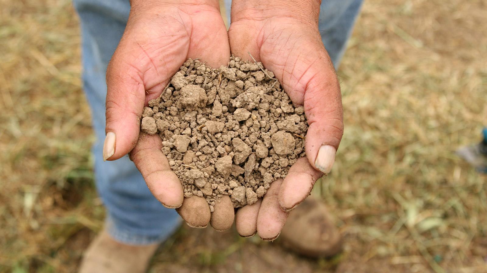 Vineyard worker's hands